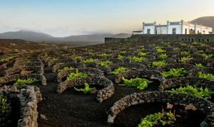 Виноградники Лансароте